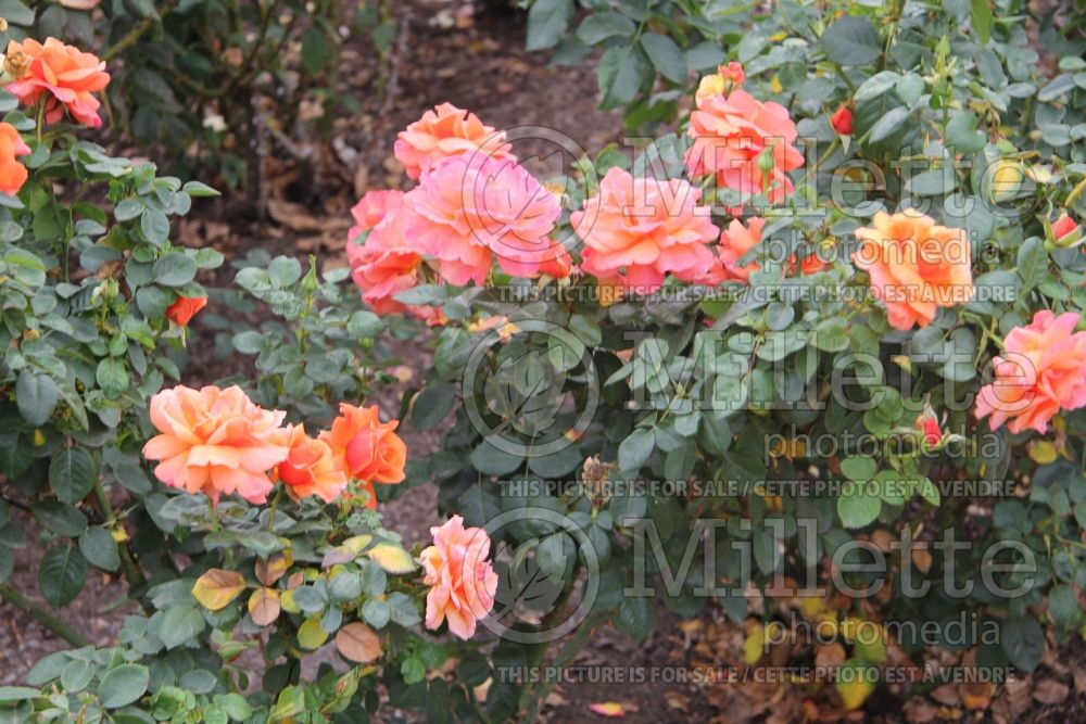Rosa Easy Does It (floribunda Rose)  1