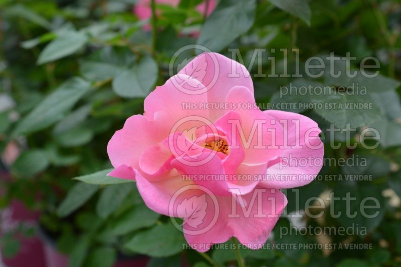 Rosa Easy Elegance All the Rage or BAIrage (Shrub rose)  1
