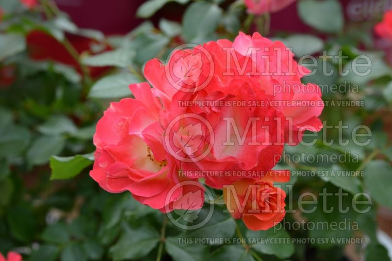 Rosa Easy Elegance Coral Cove or BAIove (Shrub rose)  1