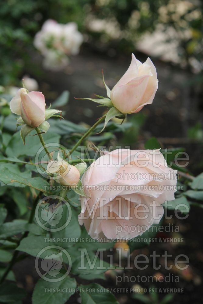 Rosa First Kiss (hybrid tea Rose) 1