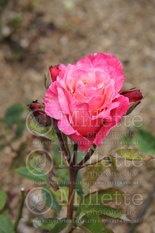 Rosa First Prize (Hybrid tea Rose)  2