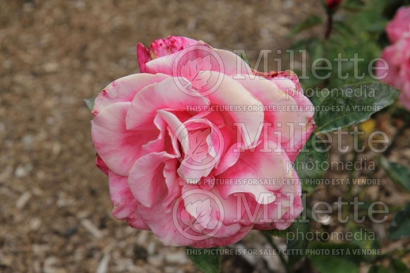 Rosa First Prize (Hybrid tea Rose)  3