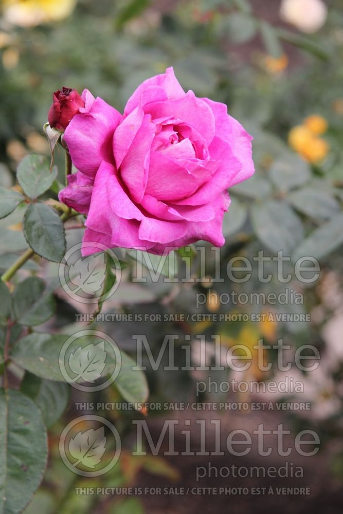 Rosa Intrigue (floribunda Rose) 2