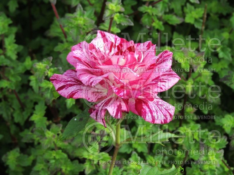 Rosa Purple Tiger (Floribunda rose) 1