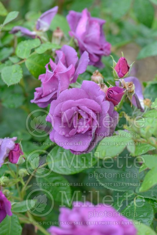Rosa Rhapsody In Blue (floribunda Rose)  6