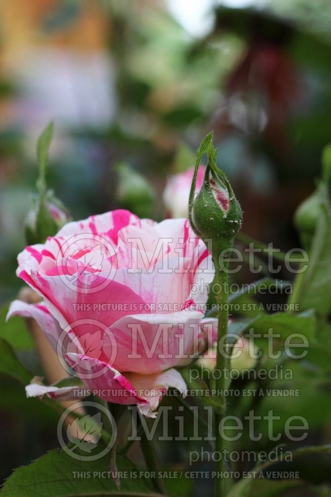 Rosa Scentimental (floribunda Rose) 2