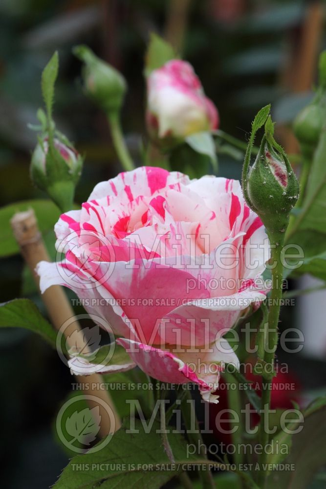 Rosa Scentimental (floribunda Rose) 3