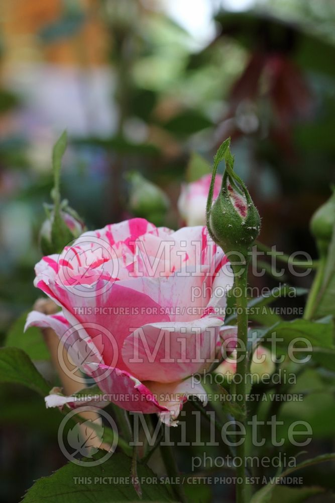 Rosa Scentimental (floribunda Rose) 4