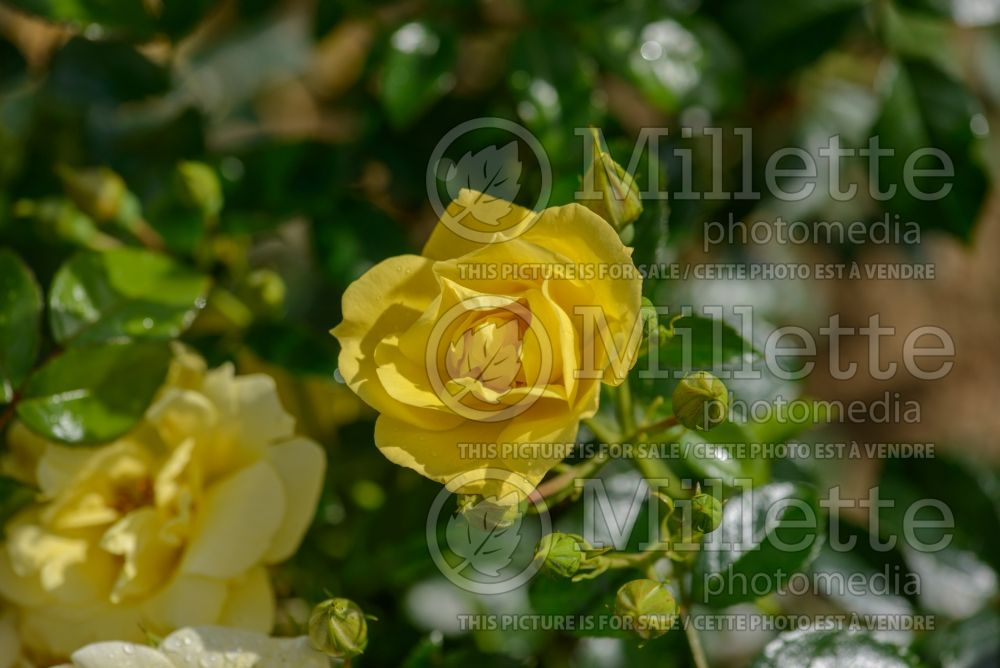 Rosa Flower Carpet Gold (Ground cover Rose) 1