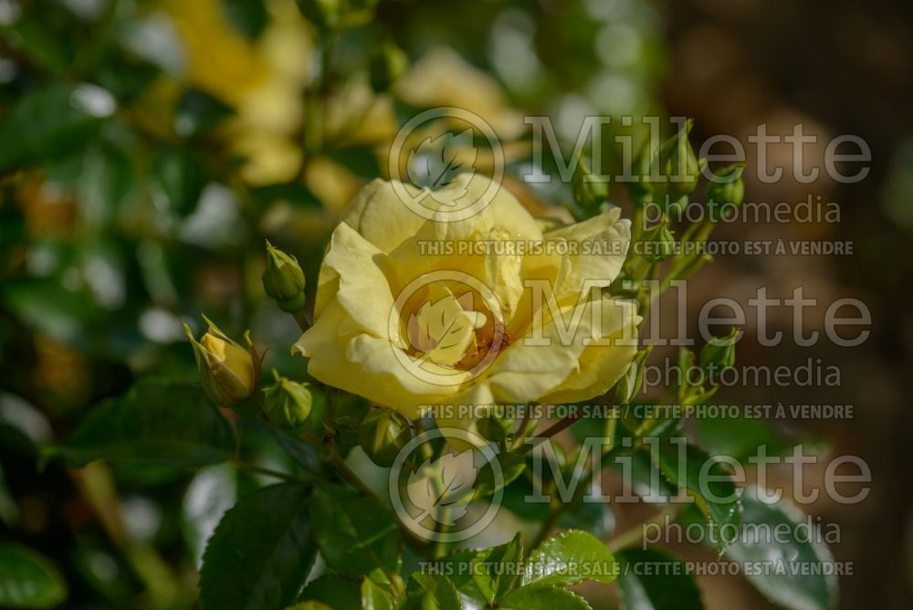 Rosa Flower Carpet Gold (Ground cover Rose) 2