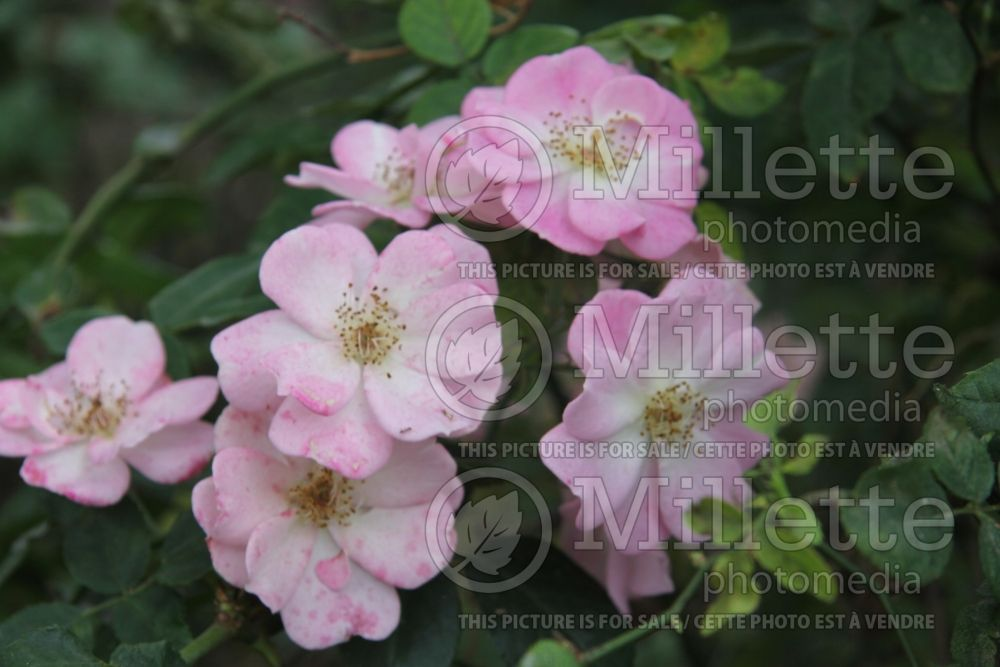 Rosa Flower Girl (shrub Rose) 1