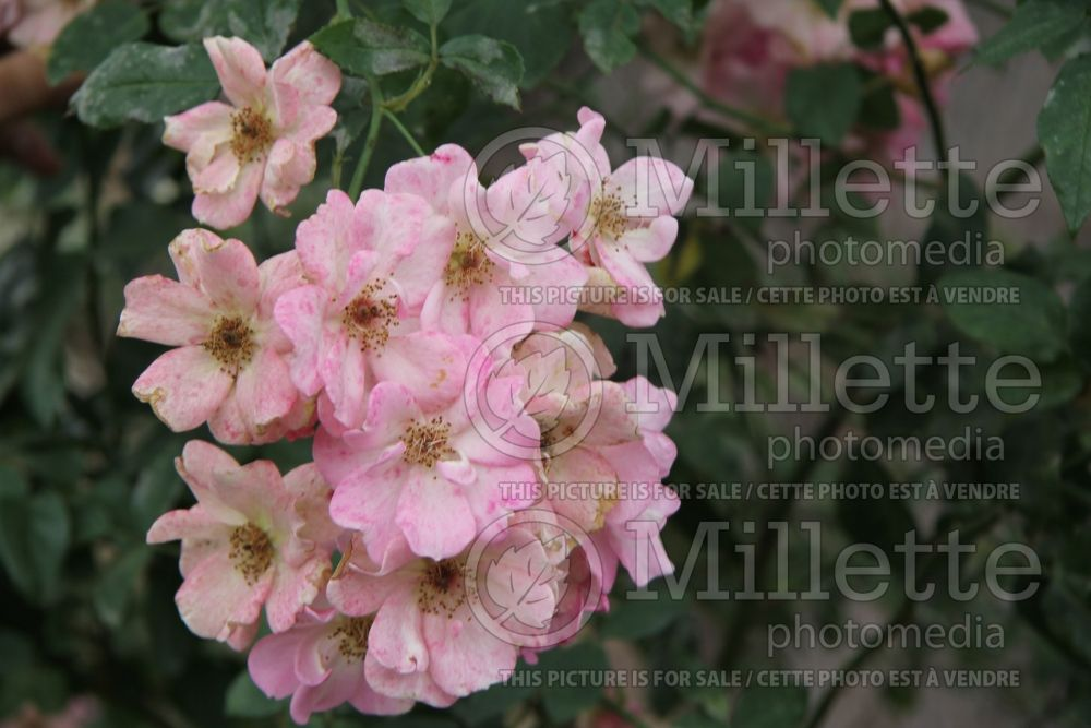 Rosa Flower Girl (shrub Rose) 2