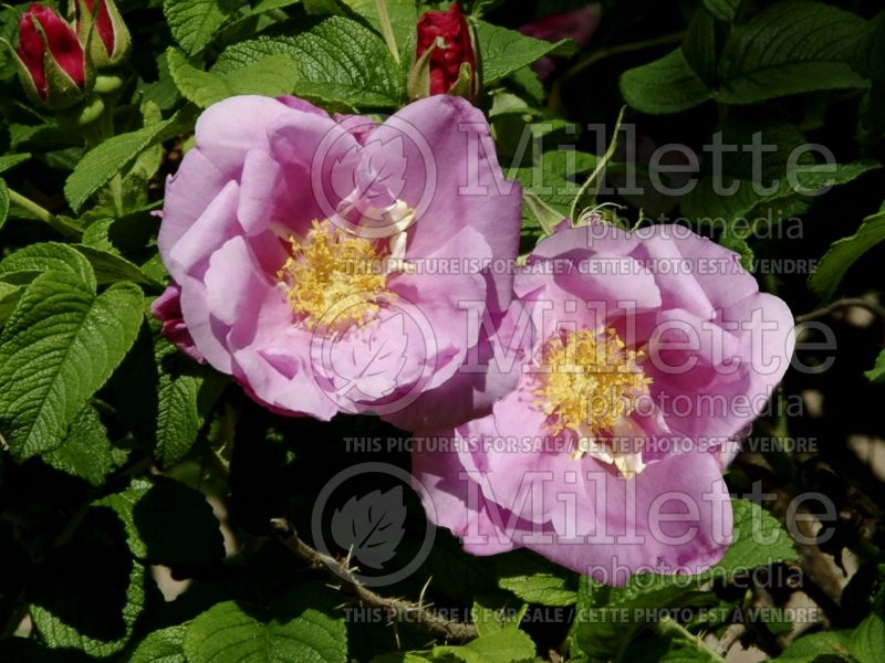 Rosa Foxi Pavement (Shrub Rose) 2