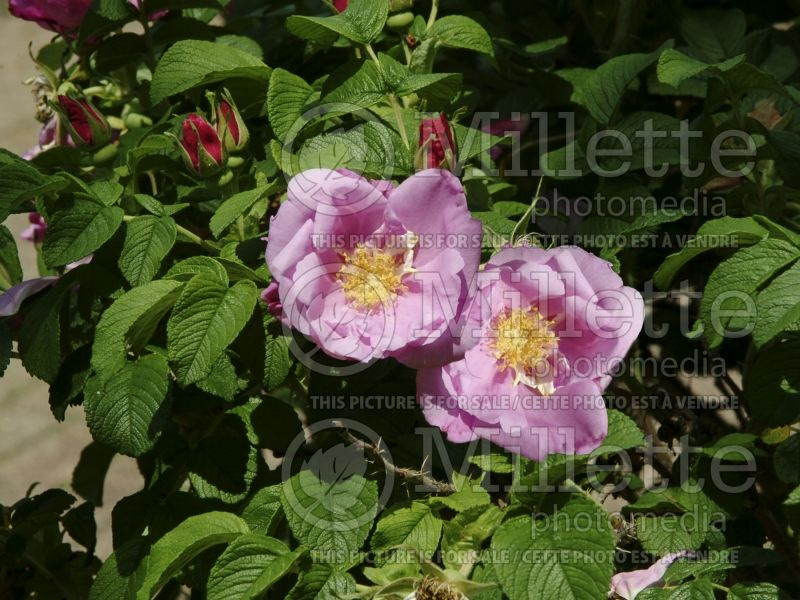 Rosa Foxi Pavement (Shrub Rose) 3