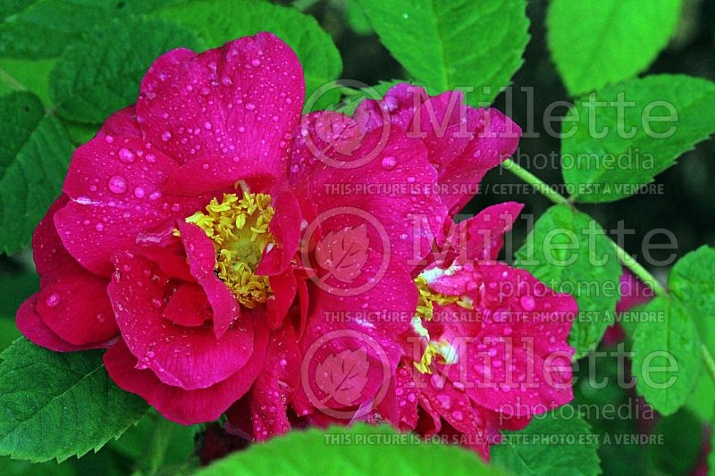 Rosa gallica officinalis (Shrub rose)  1