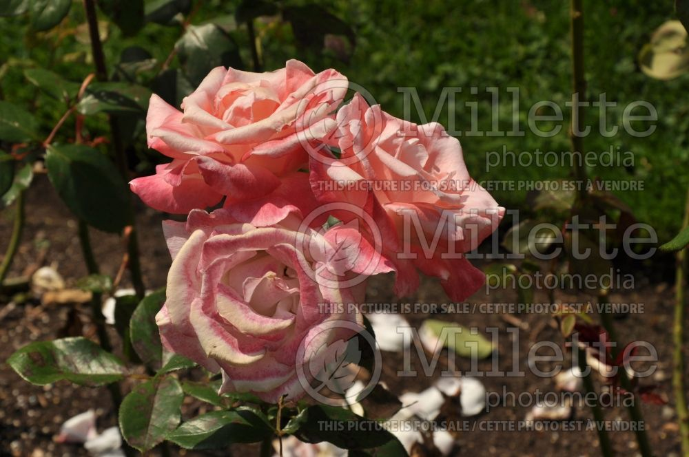 Rosa Gemini (Hybrid tea Rose) 1