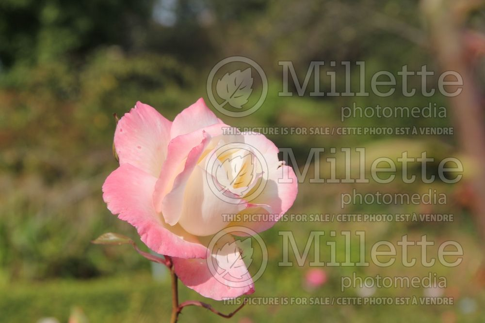 Rosa Gemini (Hybrid tea Rose) 3