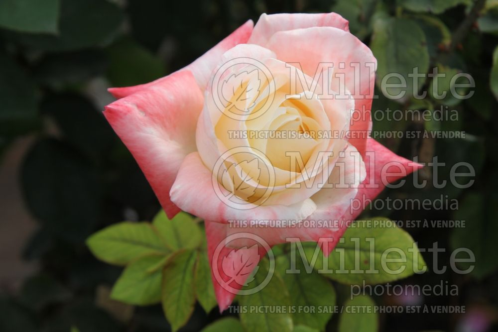 Rosa Gemini (Hybrid tea Rose) 11