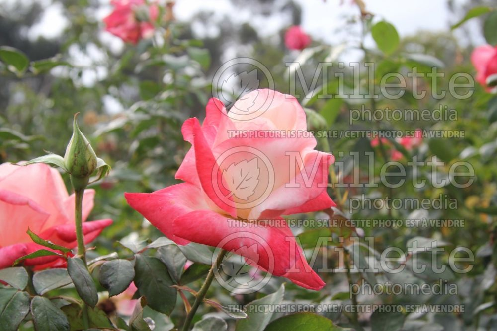 Rosa Gemini (Hybrid tea Rose) 12
