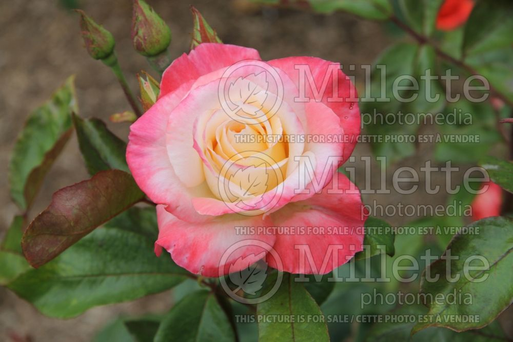Rosa Gemini (Hybrid tea Rose) 4