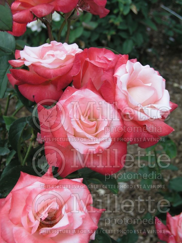 Rosa Gemini (Hybrid tea Rose) 9