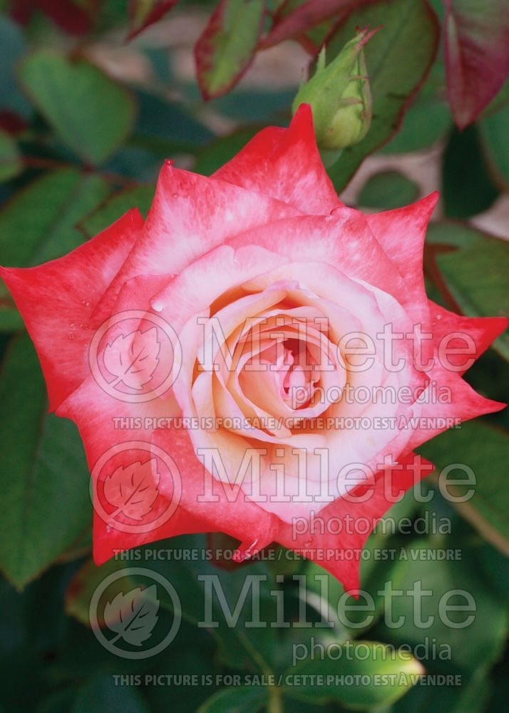 Rosa Gemini (Hybrid tea Rose) 10