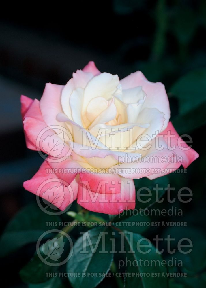 Rosa Gemini (Hybrid tea Rose) 7