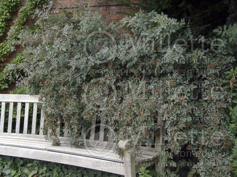 Rosa glauca ou rubrifolia (Red-leaved Rose) 6