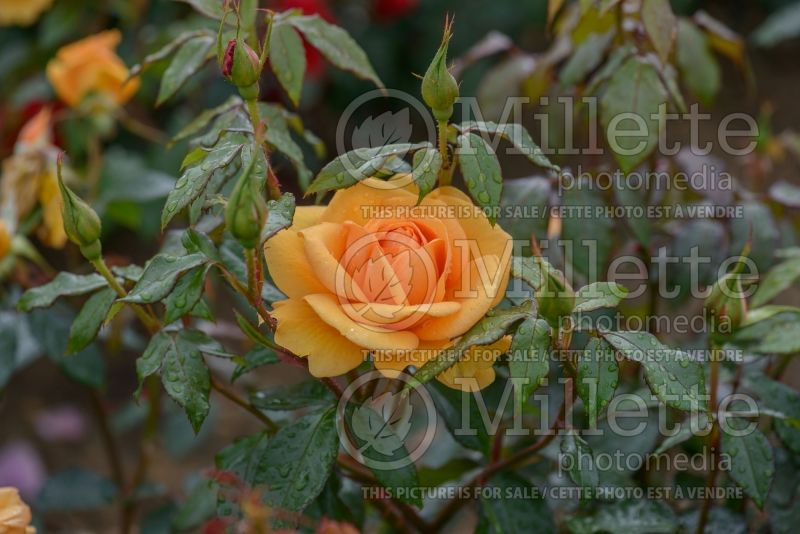 Rosa Golden Beauty (rose) 1