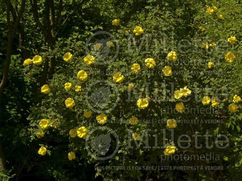Rosa Harison's Yellow (Shrub Rose) 1