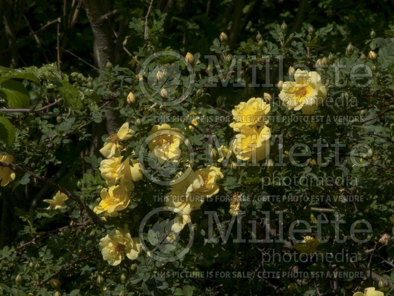 Rosa Harison's Yellow (Shrub Rose) 3