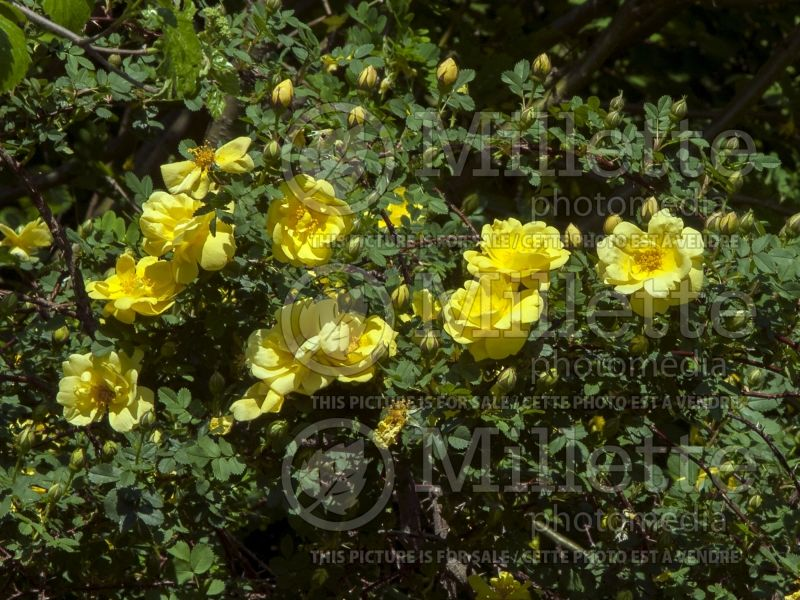 Rosa Harison's Yellow (Shrub Rose) 2