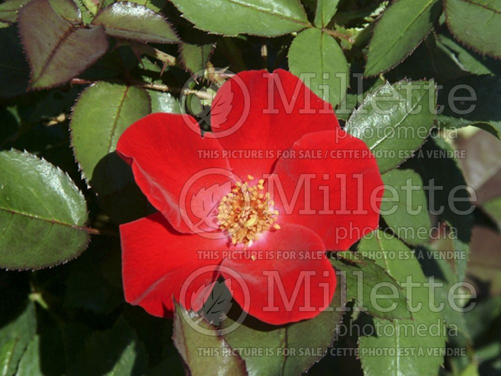 Rosa Home Run (Shrub Rose) 8