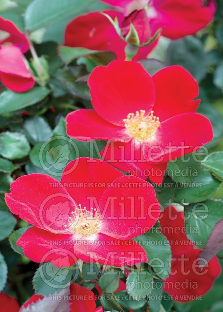Rosa Home Run (Shrub Rose) 12