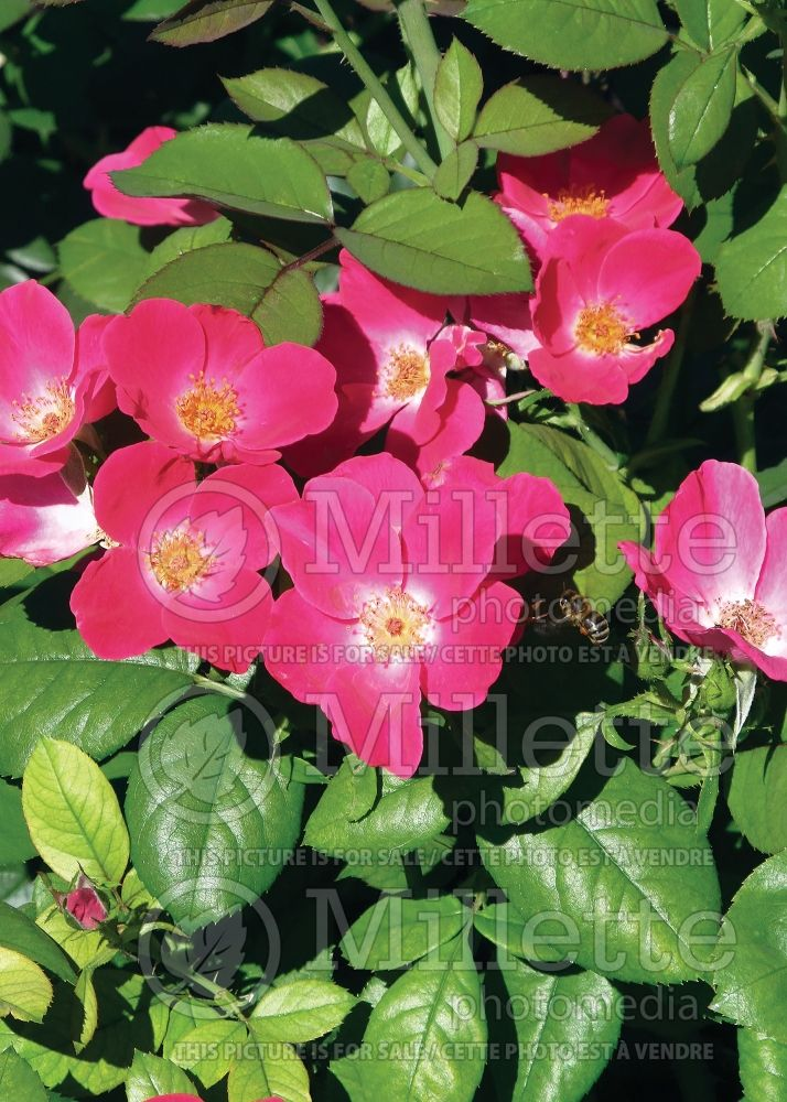 Rosa Home Run (Shrub Rose) 10