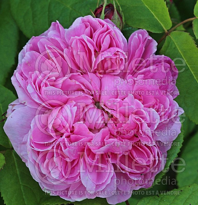 Rosa Jacques Cartier (Shrub Rose) 1