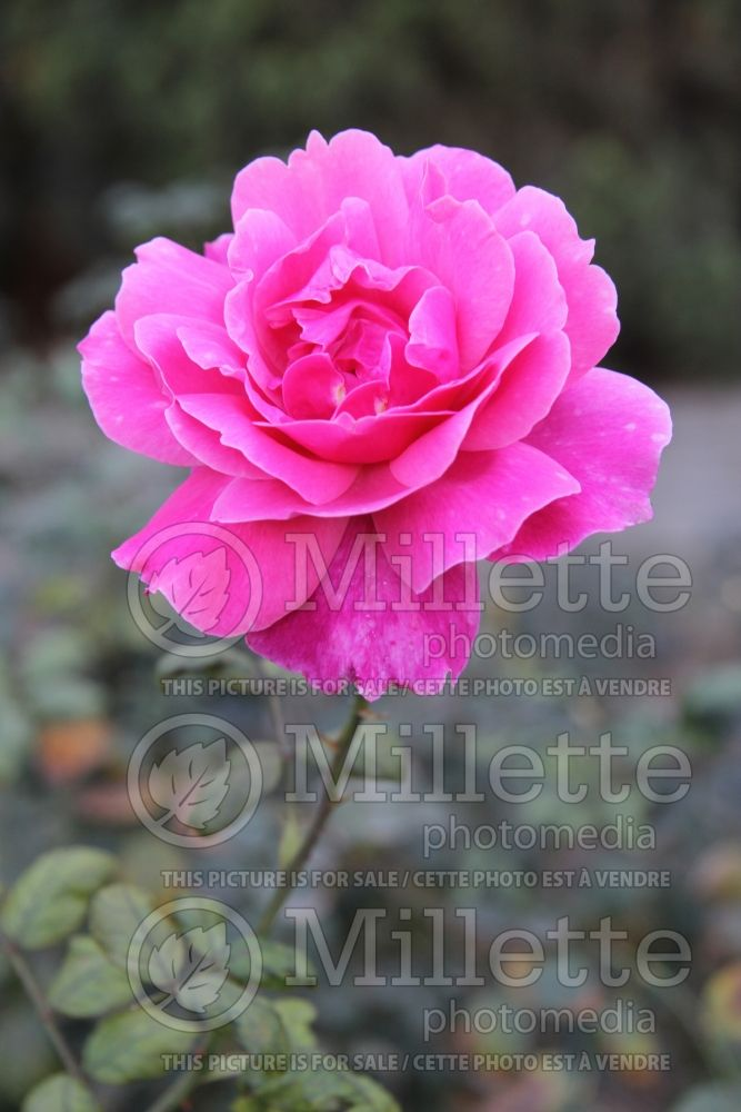 Rosa Jamaica (Tea hybrid rose) 1