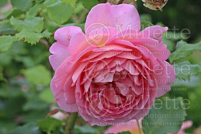 Rosa Jubilee Celebration or Aushunter (Shrub Rose) 1