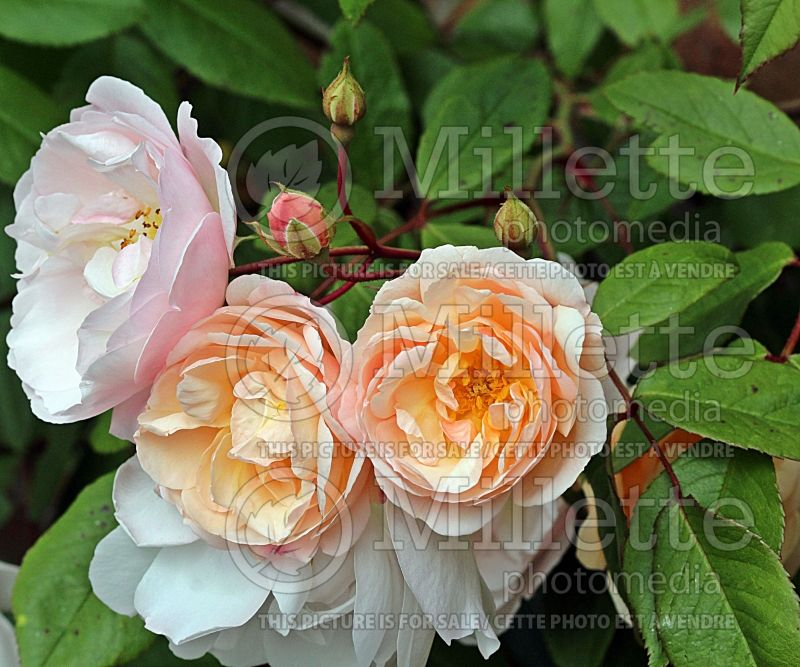 Rosa Lady of the Lake or Ausherbert (Shrub Rose)   1