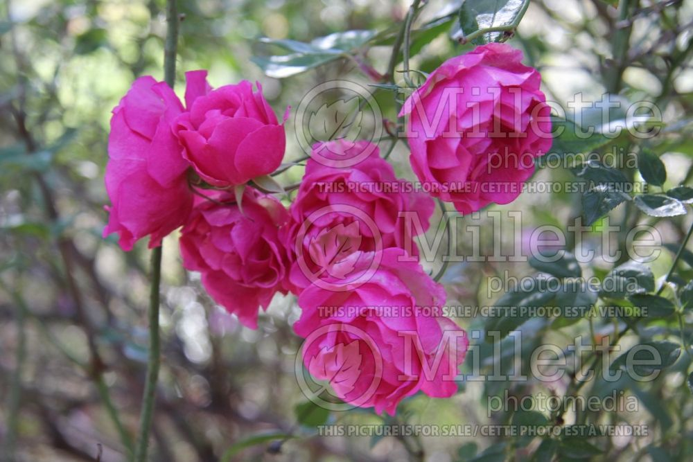 Rosa La Marne (Shrub Rose) 1