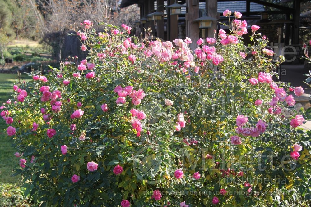 Rosa La Marne (Shrub Rose) 2