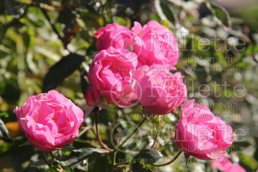Rosa La Marne (Shrub Rose) 5