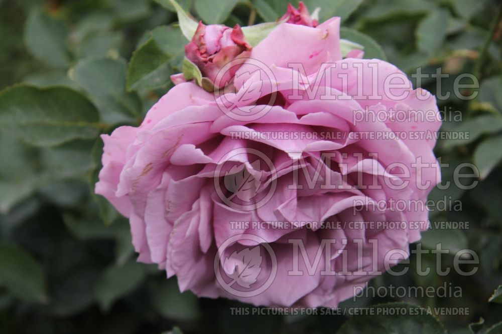 Rosa Love Song (Floribunda Rose) 2