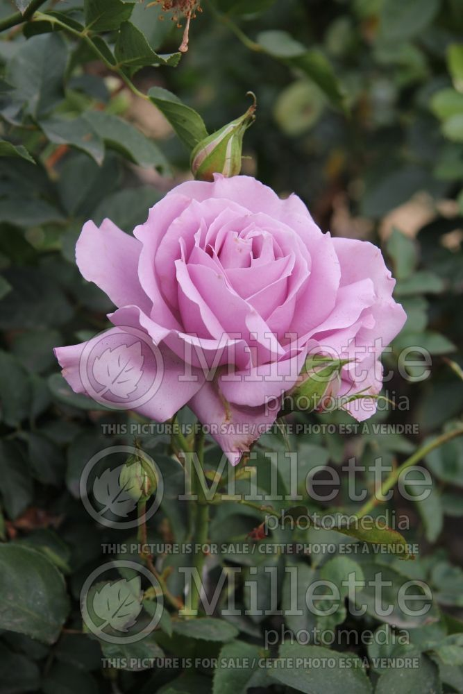 Rosa Love Song (Floribunda Rose) 4