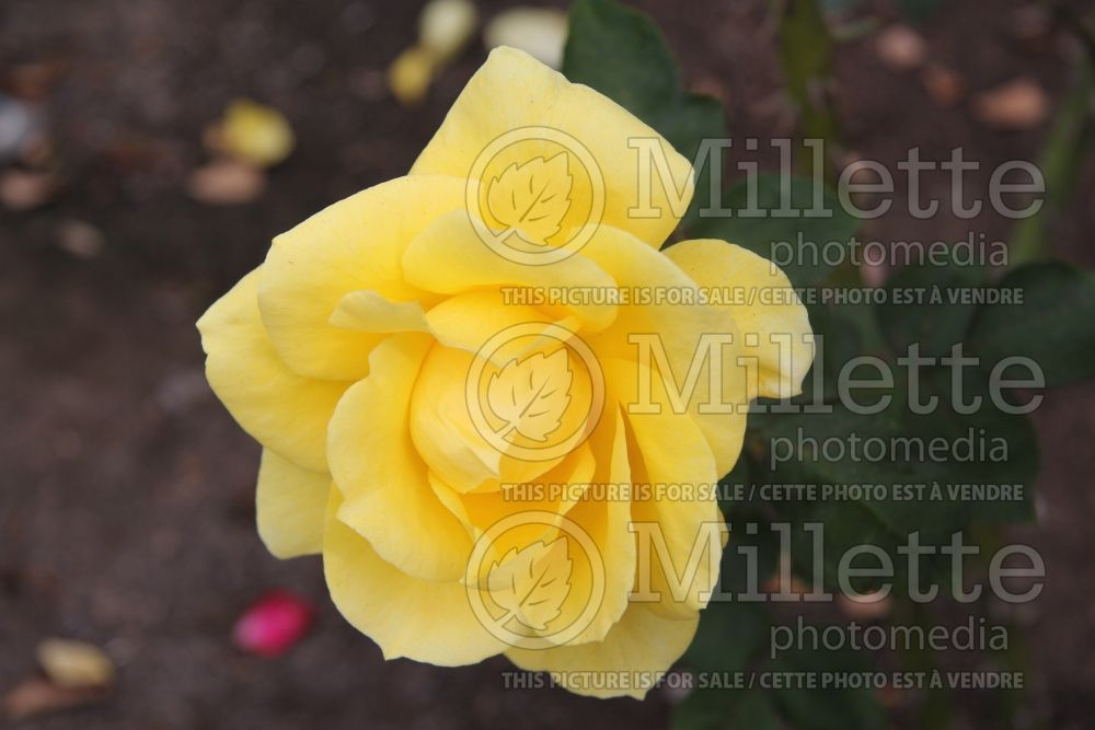Rosa Mellow Yellow (Hybrid tea rose)  1