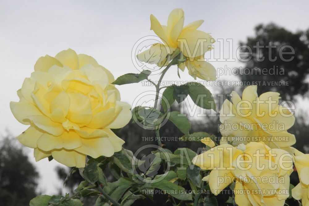 Rosa Mellow Yellow (Hybrid tea rose)  3