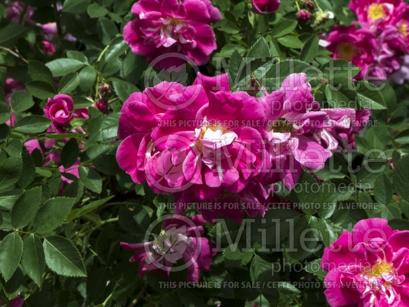 Rosa Morden Ruby (Shrub Rose)  1