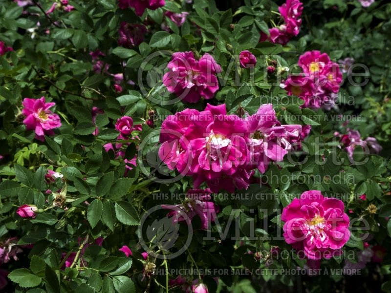 Rosa Morden Ruby (Shrub Rose)  2