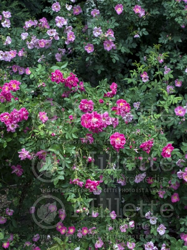 Rosa Morden Ruby (Shrub Rose) 4
