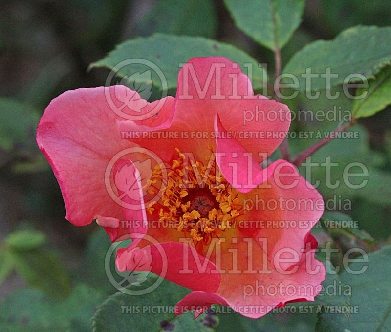 Rosa Morning Mist or Ausfire (Shrub Rose)   1